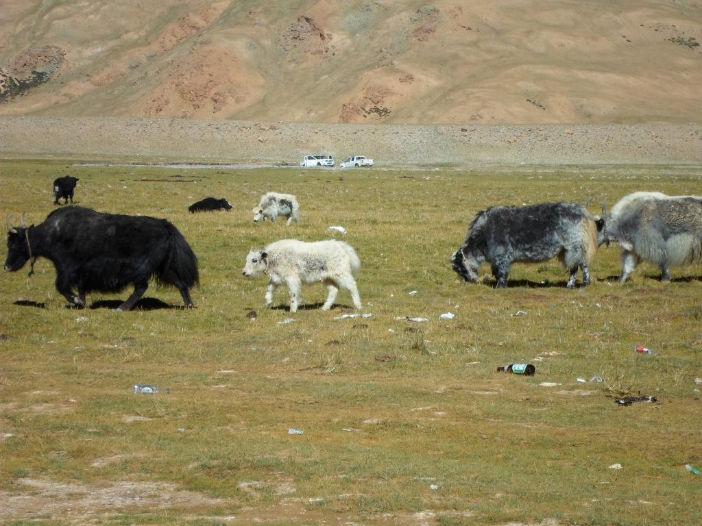 Яки в Тибете - это полжизни или даже больше. Это еда, одежда, транспорт, энергия и рабочая сила.