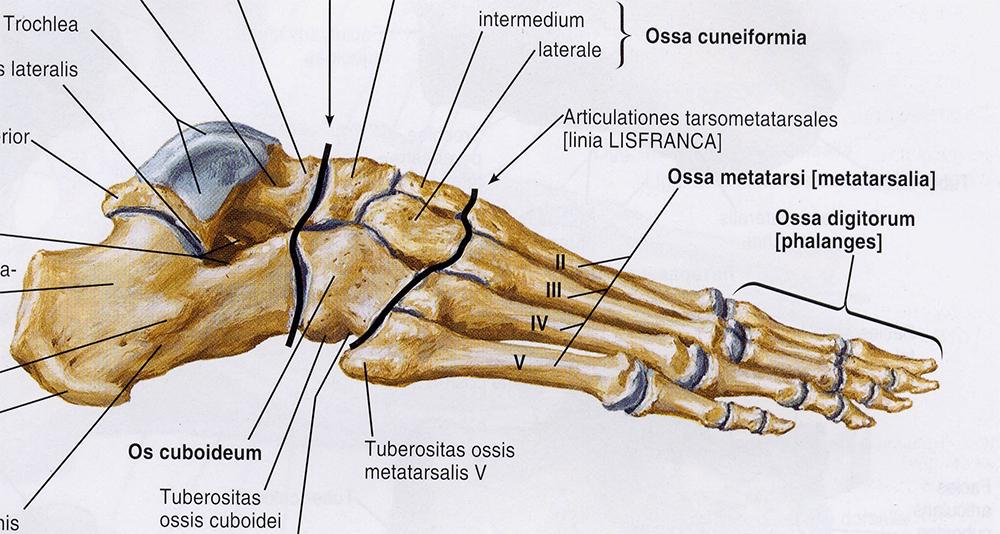 В стопе человека почти столько же костей, сколько во всем позвоночнике!